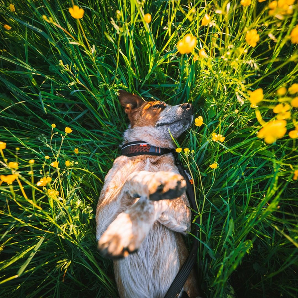 Spring is in the air!🌻But what does Spring smell like for a dog if they can smell 40 times better than us humans? 👃 #releaseyourdogspotential #nonstopdogwearftrd