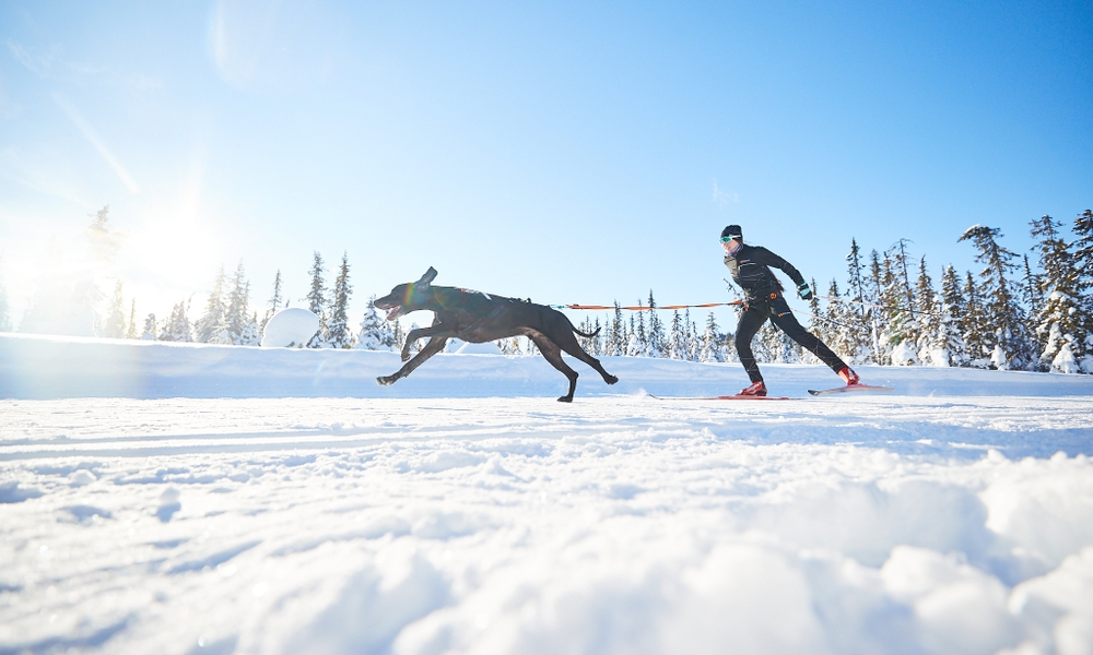Harness and gear for skiing with dogs